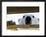 Polar Bear (Ursus Maritimus)  Hudson Bay  Churchill  Manitoba  Canada  North America
