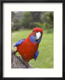 Crimson Rosella  Platycercus Elegans  Wilsons Promontory  Victoria  Australia