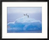 Adelie Penguins on Iceberg  Paulet Island  Antarctica  Polar Regions