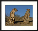 Cheetah  Acinonyx Jubatus  Duesternbrook Private Game Reserve  Windhoek  Namibia  Africa