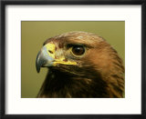 Golden Eagle  Close up of Adult  Scotland