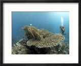 Table Coral and Diver  St Johns Reef  Red Sea