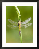 Black Tailed Skimmer Dragonfly  Female Drying  UK