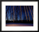 Aspen Forest in Winter Near Anchorage  USA
