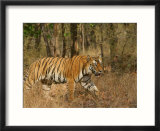 Bengal Tiger  Male Walking in Grass  Madhya Pradesh  India