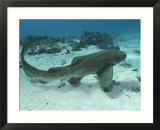 Leopard Shark  Male Swimming Over Ocean Floor  New Caledonia