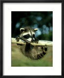 Raccoon  Portrait of Young Coon in Aspen Tree  UK