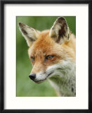 Red Fox  Portrait  Sussex  UK