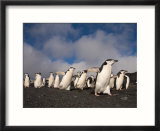 Chinstrap Penguins March Across the Black Sand Beach on Deception Island  Bailey Head  Antarctica