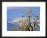 Bald Eagles in the Bitterroot Valley near Hamilton  Montana  USA