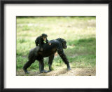 Chimpanzee  Baby on Back  Zoo Animal