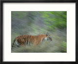 Bengal Tiger  Tigress in Grass  Madhya Pradesh  India