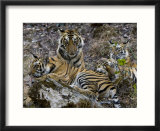 Bengal Tiger  Four One-Year-Old Tiger Cubs Together on Rocks  Madhya Pradesh  India