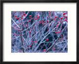 Ilex Verticillata (Black Alder  Winterberry) Winter Branches with Red Berries  December