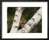 Red Squirrel  Perched on Birch Branch in Snow  Lancashire  UK