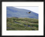 Hen Harrier  Hovering Over Moorland  Scotland