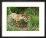 Red Fox  Parent Delivering Food to Cub  Sussex  UK