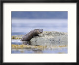 European Otter  Juvenile Climbing out of the Water onto a Rock  Scotland