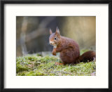 Red Squirrel  Sat on Moss  Lancashire  UK
