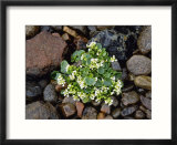 Common-Scurvy Grass  Lochalsh  Scotland