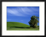 Lone Tree in Wheatfield  Whitman County  Washington  USA