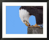 Bald Eagle Eating Fish  Alaska  USA