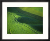 View of Spring Wheat  Palouse  Washington  USA