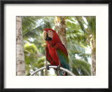 Parrot at Radisson Resort  Palm Beach  Aruba  Caribbean