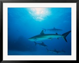Reef Sharks  Walker's Cay  Bahamas