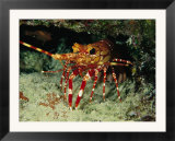 A Close View of a Lobster Near its Reef Home
