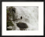 An American Bald Eagle Perched in a Tree Near a Rushing Waterfall