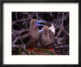 Nesting Pair of Red-Footed Boobies (Sula Sula) in Mangroves on Lighthouse Reef  Belize