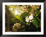 Mountain Laurel in Bloom in Early Morning Light