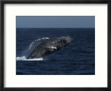A Breaching Humpback Whale in the Sea of Cortez