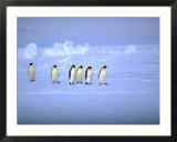 Emperor Penguins (Aptenodytes Forsteri) Crossing Ice  Weddell Sea  Antarctica