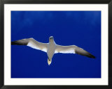 Gannet (Sula Bassana) Flying  Ireland
