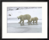 Polar Bear & Cub In Churchill  Manitoba