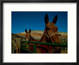 Mules on a farm