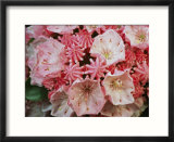 Close view of blossoming mountain laurel
