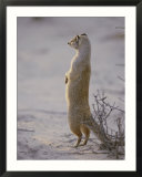 A yellow mongoose stands on its hind legs to survey the surrounding area
