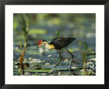 A comb crested jacana hunts for food among lily pads