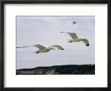 Herring gulls in flight