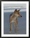 A dingo stands on an ocean shore beach