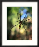 Black And Yellow Spider  Bago  Myanmar (Burma)