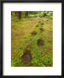 Alaskan Brown Bear Tracks