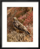 A Portrait of a Galapagos Hawk on Bartolome Island