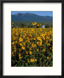 Field of Common Sunflowers  Abajo Mountains  Monticello  Utah  USA