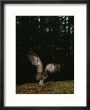 Swooping for a Snack  a Northern Spotted Owl (Strix Occidentalis) Seizes a Mouse