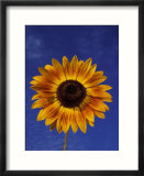 Sunflower and Blue Sky  Sammamish  Washington  USA