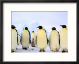 Emperor Penguins  Atka Bay  Weddell Sea  Antarctic Peninsula  Antarctica